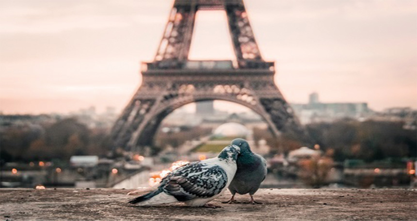 Pigeons kissing in paris with Eiffel Tower