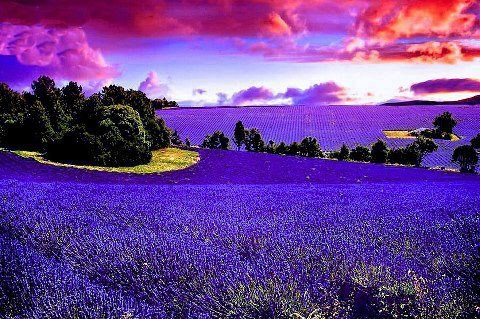 Lavendar France